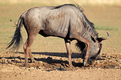 Blue wildebeest playing Stock Image