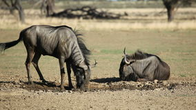 Blue wildebeest playing stock footage