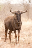 Blue Wildebeest portrait Stock Images