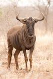 Blue Wildebeest portrait Stock Images