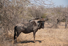 Blue Wildebeest portrait Stock Photography