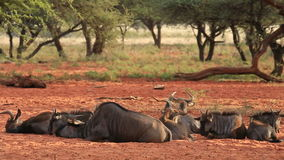 Blue wildebeest resting Royalty Free Stock Images
