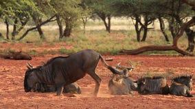 Blue wildebeest resting stock video