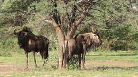 Blue wildebeest rubbing stock video footage