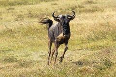 Blue wildebeest running Stock Photo