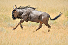 Blue Wildebeest running Royalty Free Stock Photography