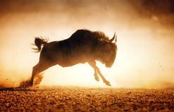 Blue Wildebeest Running In Dust Royalty Free Stock Images
