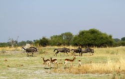 Blue Wildebeest Rutting Royalty Free Stock Photo