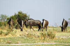 Blue Wildebeest Rutting Stock Photos