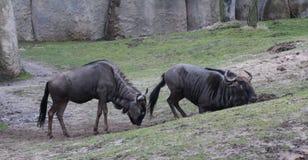 Blue wildebeest sand bath Royalty Free Stock Photo