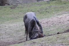 Blue wildebeest scratching Royalty Free Stock Photography