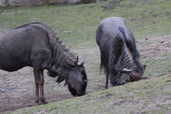 Blue wildebeest scratching Royalty Free Stock Photo