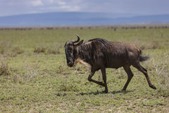 Blue wildebeest in the Serengeti Stock Photo