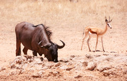 Blue wildebeest and Springbok Stock Photography