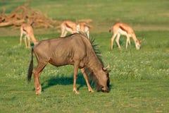 Blue wildebeest and springbok antelopes Royalty Free Stock Photos