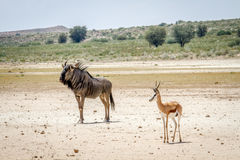 Blue wildebeest and Springbok standing in the sand. Stock Photo