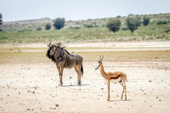 Blue wildebeest and Springbok standing in the sand. Royalty Free Stock Images