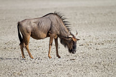 Blue wildebeest standing in dry salt-pan Stock Photos