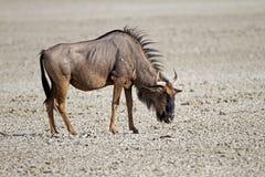 Blue wildebeest standing in dry salt-pan. Connochaetes taurinus stock photos