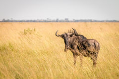 A Blue wildebeest standing in the high grass. Royalty Free Stock Image