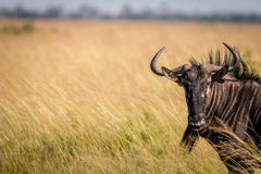A Blue wildebeest standing in the high grass. Royalty Free Stock Images