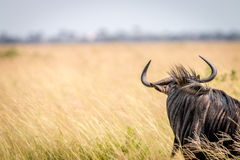 A Blue wildebeest standing in the high grass. Stock Photo