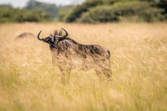 A Blue wildebeest standing in the high grass. Stock Photos