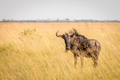 A Blue wildebeest standing in the high grass. Stock Image