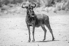 Blue wildebeest standing in the sand. Stock Image