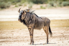 Blue wildebeest standing in the sand. Stock Photos