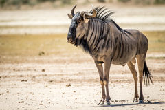 Blue wildebeest standing in the sand. Royalty Free Stock Images