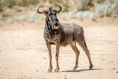 Blue wildebeest standing in the sand. Stock Photography