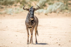 Blue wildebeest standing in the sand. Royalty Free Stock Photos