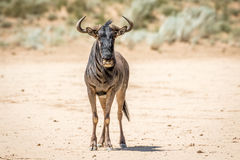 Blue wildebeest standing in the sand. Royalty Free Stock Photo