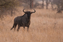 Blue Wildebeest staring Stock Photos