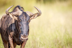 Blue wildebeest starring at the camera. Royalty Free Stock Photo