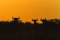 Blue Wildebeest in Sunrise. A group of three wildebeest silhouetted in a dramatic sunrise Royalty Free Stock Photos