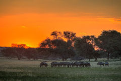 Blue Wildebeest sunset. A landscape of Blue wildebeest standing in the bushveld in the red orange kalahari sunset Royalty Free Stock Photo