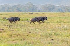 Blue Wildebeest in Tanzania. Connochaetes taurinus, Blue Wildebeest, walking in savannah in  Serengeti National Park in Tanzania Stock Photo