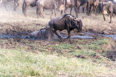Blue Wildebeest in Tanzania. Large herd of Connochaetes taurinus, Blue Wildebeest, crossing river in  Serengeti National Park in Tanzania Royalty Free Stock Images