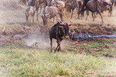 Blue Wildebeest in Tanzania. Large herd of Connochaetes taurinus, Blue Wildebeest, crossing river in  Serengeti National Park in Tanzania Royalty Free Stock Photography