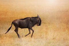 Blue wildebeest walking alone in dry grassland Stock Images