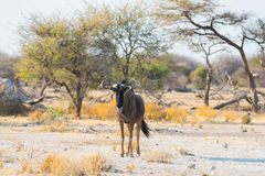 Blue Wildebeest walking in the bush Royalty Free Stock Image
