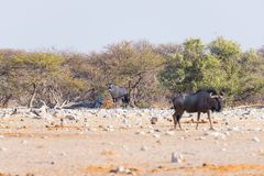 Blue Wildebeest walking in the bush. Wildlife Safari in the Etosha National Park, famous travel destination in Namibia, Africa. Blue Wildebeest walking in the Royalty Free Stock Photos