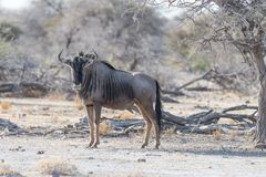 Blue Wildebeest walking in the bush. Wildlife Safari in the Etosha National Park, famous travel destination in Namibia, Africa. Blue Wildebeest walking in the Stock Photography