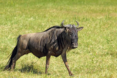 Blue wildebeest walking Royalty Free Stock Image