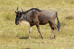 Blue wildebeest walking Stock Photos