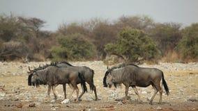 Blue wildebeest walking stock video footage