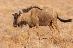 Blue wildebeest wandering in Etosha National Park stock photography