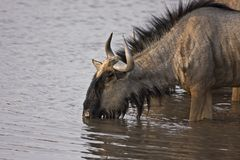 Blue Wildebeest at waterhole Stock Photos